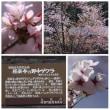 阿賀町「黒岩の夫婦桜」