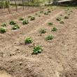 ジャガイモが新芽を伸ばしています