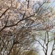 琵琶湖と桜並木と青い空