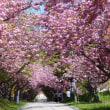 桜昨日が満開