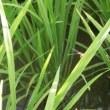 稲の葉に止まったトンボとカワセミ
