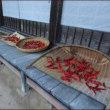 正ちゃんの紅葉狩り(3)ギンナンまみれ