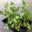 セロリとトマトを植え付けました (^^)/