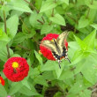 百日草とアゲハ蝶