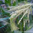 とうもろこし栽培、受粉作業、カラス対策