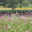 コスモス畑 at 昭和記念公園