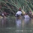 今日の鳥コレクション・・・公園の池に