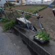 インカのめざめの苗をプランターに植え替えました