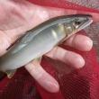 8月19日 増水の亀尾島川でアマゴと鮎釣り!