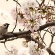 遅ればせながら・・・近所の川でスズメ×桜 part1