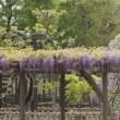 鬱金(ウコン)桜のはずが・・・@天王川公園