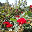 5月のバラ