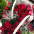 ポインセチアとクリスマス