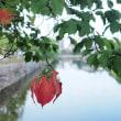 ★ちょい朝焼けの松本城と白鳥とハスの花 2018