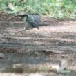 スズメとシジュウガラの幼鳥