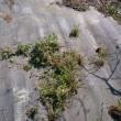 ブルーベリー畑の草取りと肥料やり