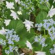 2018.5.30(水) 額紫陽花の新種「墨田の花火」咲く