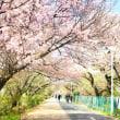 桜と取材。