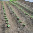 間引き苗の定植