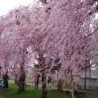 今年も桜は元気です、