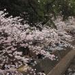 夙川公園の桜をめでる