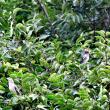 夏鳥 コムクドリ。
