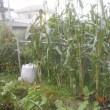 庭のトウモロコシを片づけました