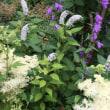 虹色紫陽花&真っ赤なエキナセア