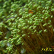 2018/05/22 大台ヶ原シロイワカガミ開花