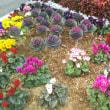 2/5 バス通りの花壇:ビオラ・ハボタン・シクラメン他