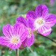 ◇可憐な姿 春を告げる花 スノードロップ … マツユキソウ  (待雪草)◆