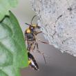 スズバチ巣作り