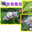 玉紫陽花ってどんな花?