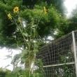 巨大向日葵