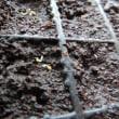 種まきその後・・トウモロコシ&アスター