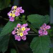 最近散歩で見た花(メドーセージ、コバノランタナ、オシロイバナ、クコ、ランタナ、コマツヨイグサ、オクラ)