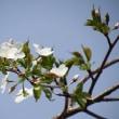 オオシマザクラ(大島桜)
