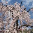 江戸時代からの桜の名所・・・上野恩賜公園の桜の眺め~