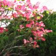 ハナミズキ(紅花花水木)