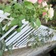 oneboke みちこ今日の庭 カラミンサ と タピオカ入りラッシーレシピ
