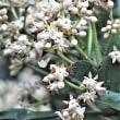 モクタチバナ  ヤブコウジ科の樹木