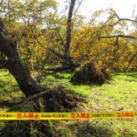 <京都府立植物園> なお続く台風による倒木の撤去作業!