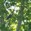 モエレの鳥たち 5/22 ノゴマとオジロワシと・・・