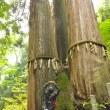 保津川の源流に「日本一」の三本杉
