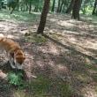 朝散歩は赤松林