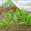 9月の畑 (白菜の定植)