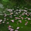 4月20日  水連沼の落桜