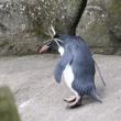 イワトビペンギン in 強風