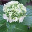 5/24 Myガーデン、ヒペリカムの花が咲いた