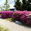 季節の花風景(過去ログ)さつき・つつじ-高槻総合スポーツセンター-